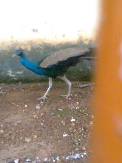 this peacock moods picture taken from Haripad Subramanya Swami Temple in Alappuzha District of Kerala where the temple authority keeping this peacock at there as peacock is the holy vehicle of Lord Muruga