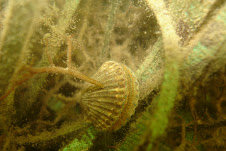Scallop on Artificial Eelgrass