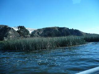 Totora reeds growing in Lake Titicaca
