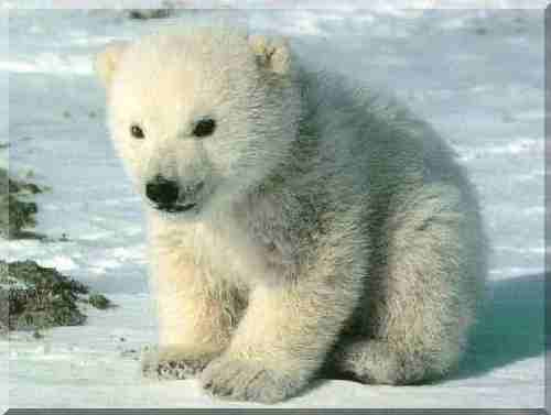 Fiona Bernard All Baby Polar Bears Are Cute