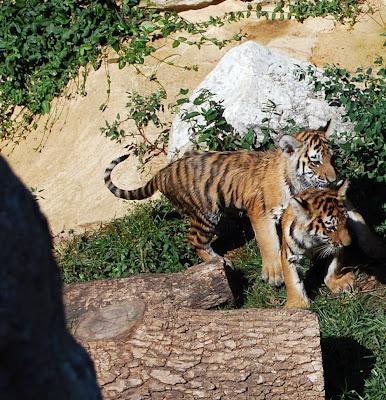 Fiona Bernard: All Baby Tigers Are Cute.