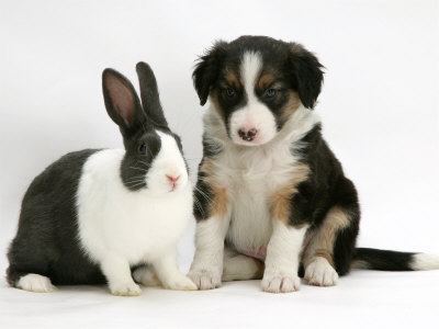 Border Collie Puppies on Dogbreedcatalog  Border Collie Puppies