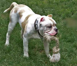 Alapaha Blue Blood Bulldog United States Dog