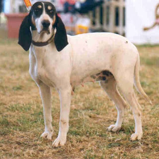 Ariegeois Dog France Dog Breed