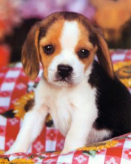 Anglo-Français de Petite Vénerie puppies