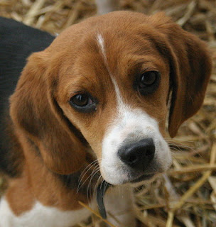 Beagle Puppies on Dogs And Cats Breed  Beagle Puppies Picture Dogs And Cats Wallpapers