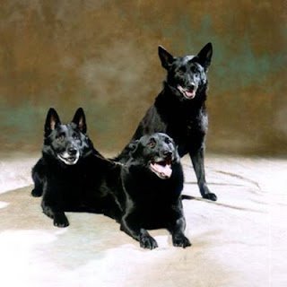 Black Norwegian Elkhound Dog Picture