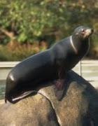 Animais marinhos - FOCA