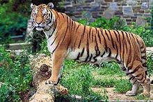 Altivo e bonito o irmão tigre!