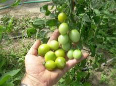 Verde Claro Tomato