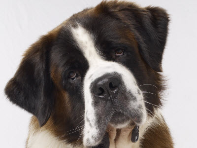 Pictures Of Beethoven Dogs