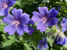 Geranium Rosemoor
