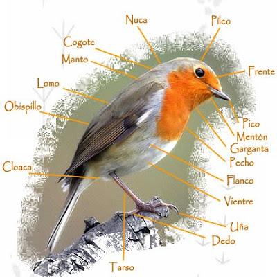 Supervivencia ef: Anatomía Externa de las Aves