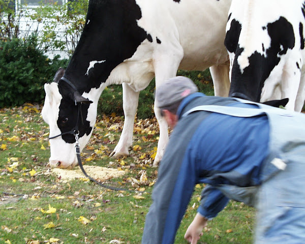 Dan begs the cow to behave