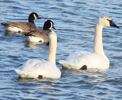 trumpeter swan ontario. geese and trumpeter swans.
