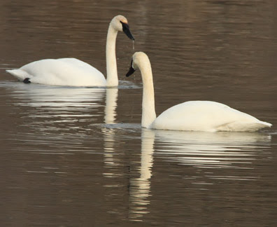 trumpeter swan ontario. The trumpeter swans that have