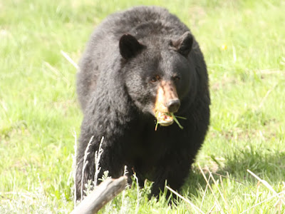 Black bears are omnivores so they eat both plant and animal matter