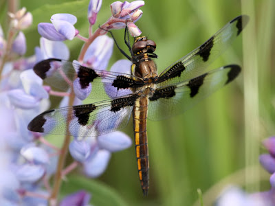 Black And White Dragonfly. by white spots in between