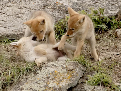 coyote pups playing