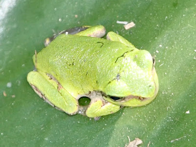 tree frog pictures. are the true tree frogs.