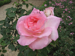 From the rose garden at the monastery of Fontfroid, France
