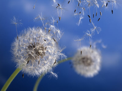 345660-FB~Dandelions-Blowing-in-the-Wind-Posters.jpg
