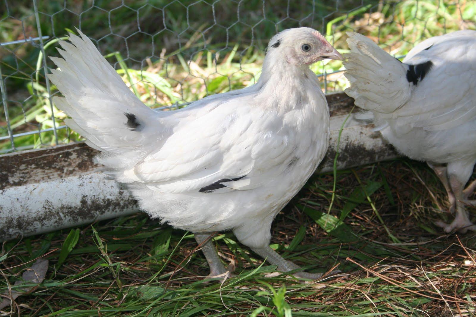 White Australorp Chicken Www Pixshark Com Images