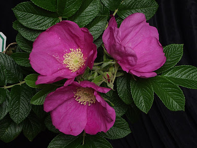 avec 5 sens l 39 odorat au jardin 1 rosiers parfum s. Black Bedroom Furniture Sets. Home Design Ideas