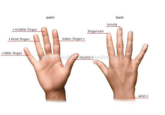 Finger prostata Prostate