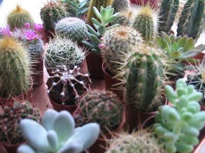 Fotografije kaktusa Cacti+and+succulents+2