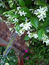 Topiary Star Jasmine