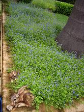 Blue Lobelia groundcover