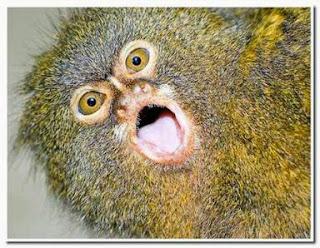 Kuva topic - Sivu 2 Pygmy+Marmoset