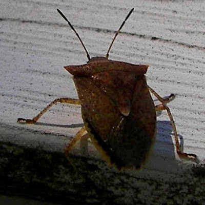 Possible Northwest Ohio sighting of the brown marmorated stink bug