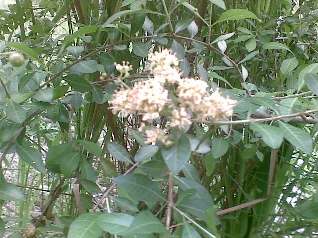 Flora Fauna Bunga Buah Dan Pohon Inai The Henna Plant