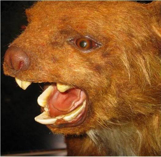 irish is thylarctos plummetus the drop bear