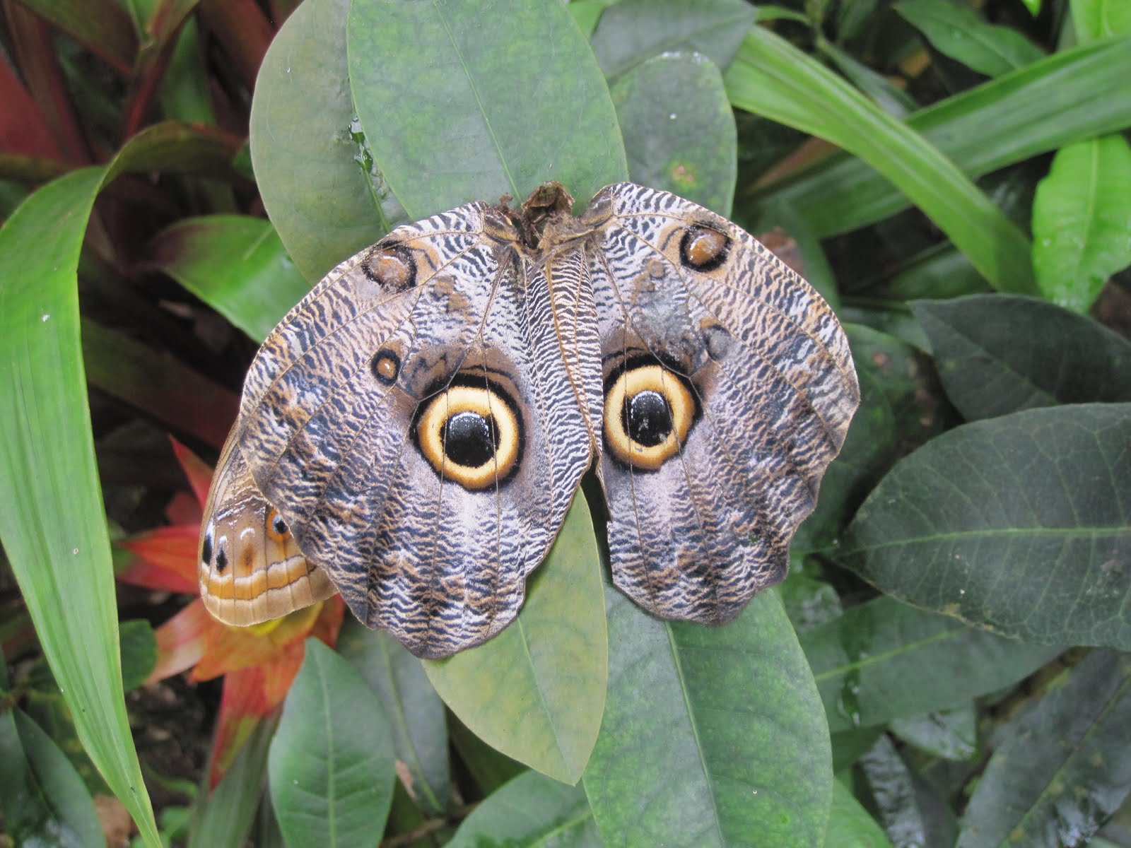 Owl butterfly - photo#1