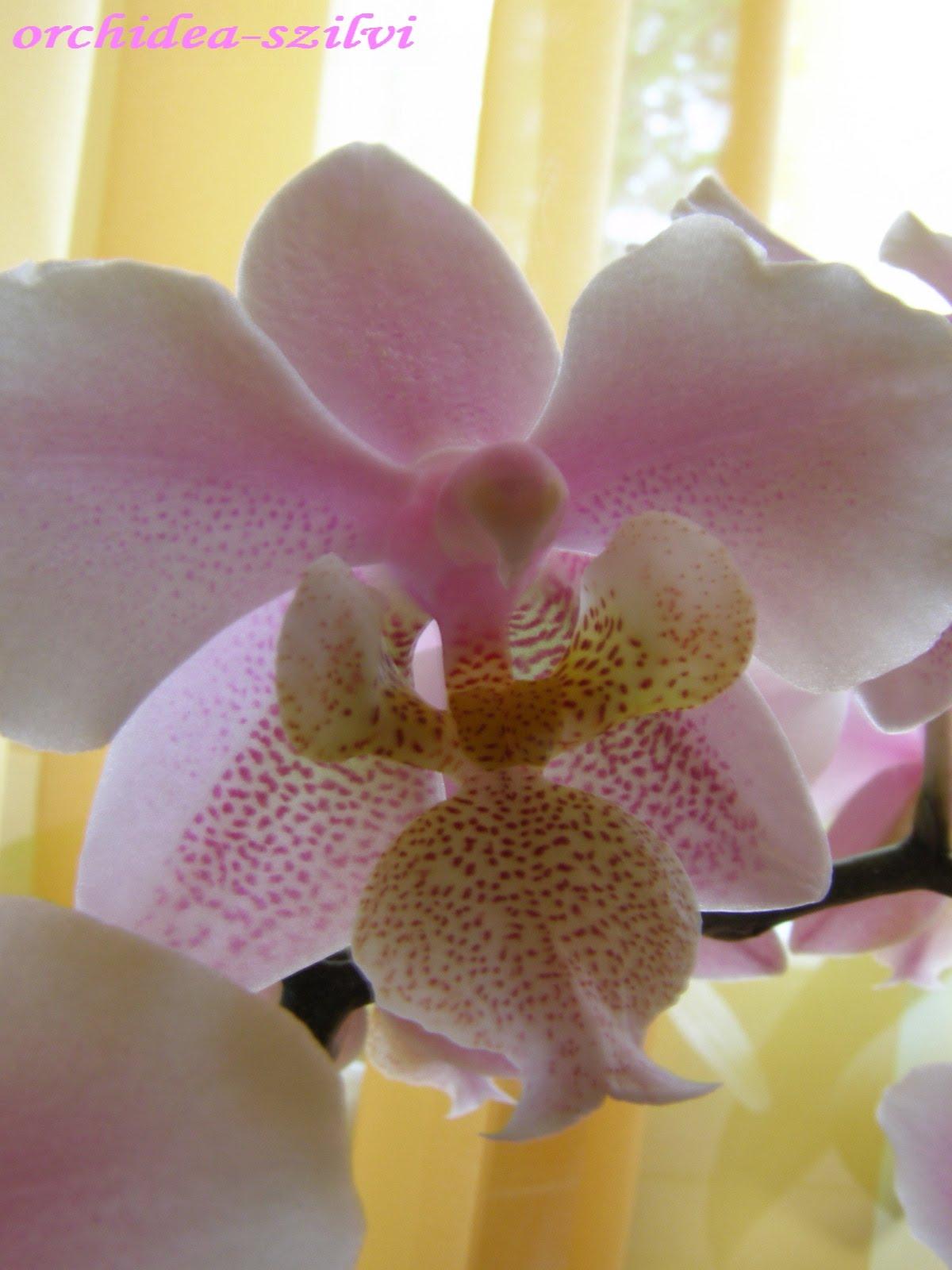 Az orchidea gombás betegségeinek kezelése