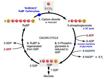 the light independent reaction a k a the calvin Oxygenic photosynthesis: light-independent reactions photosynthesis most plants use the calvin cycle to fix co 2 to begin the calvin cycle, a molecule of co 2 reacts with a five-carbon compound called ribulose bisphosphate (rubp.