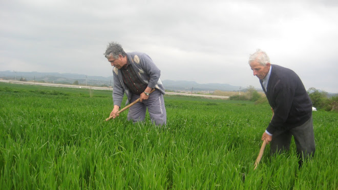 Herbejant el blat