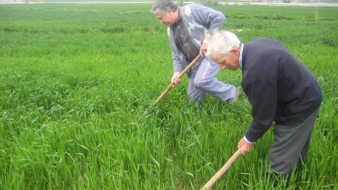 En Joan de la Fàbrica i en Josep de Pratdesaba herbejant el camp de blat
