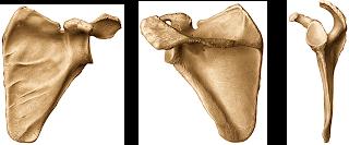 Anatom A Humana Esqueleto Apendicular