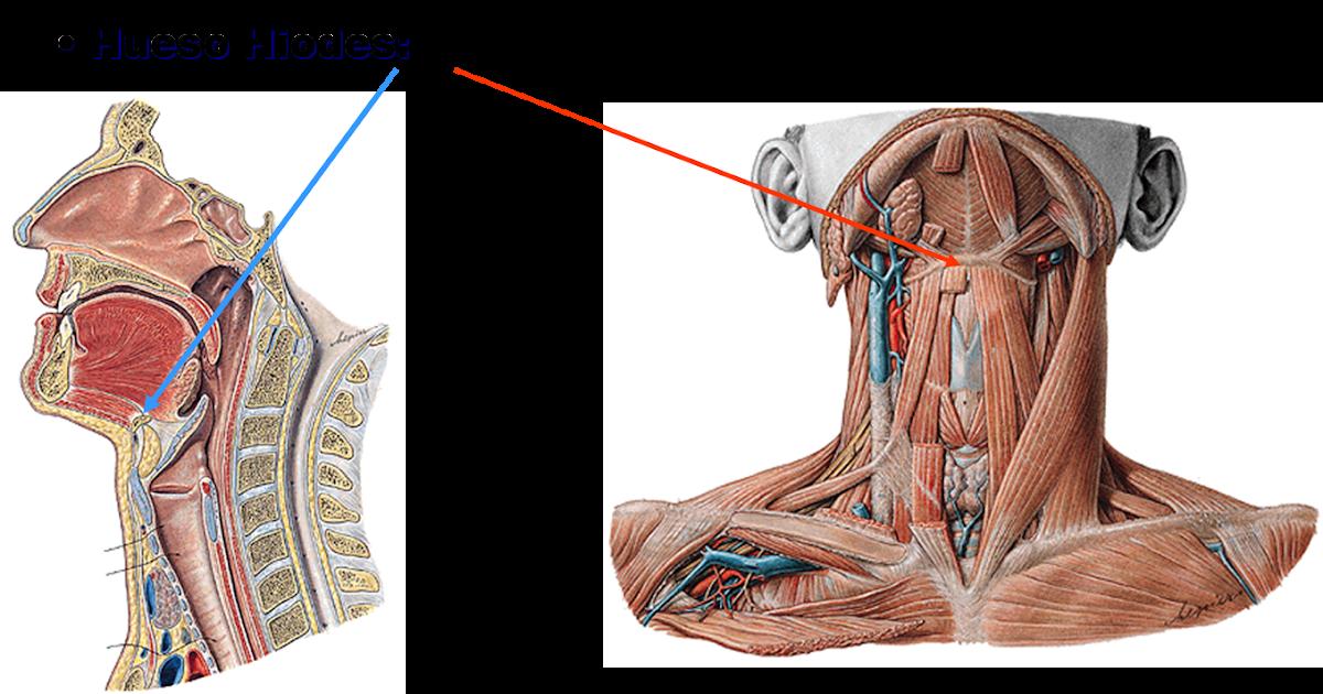 Anatomía Humana: Esqueleto Axil. Hioides. Columna Vertebral. Torax oseo.