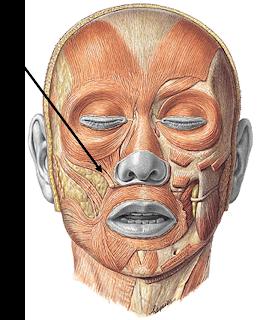 los músculos de la cabeza
