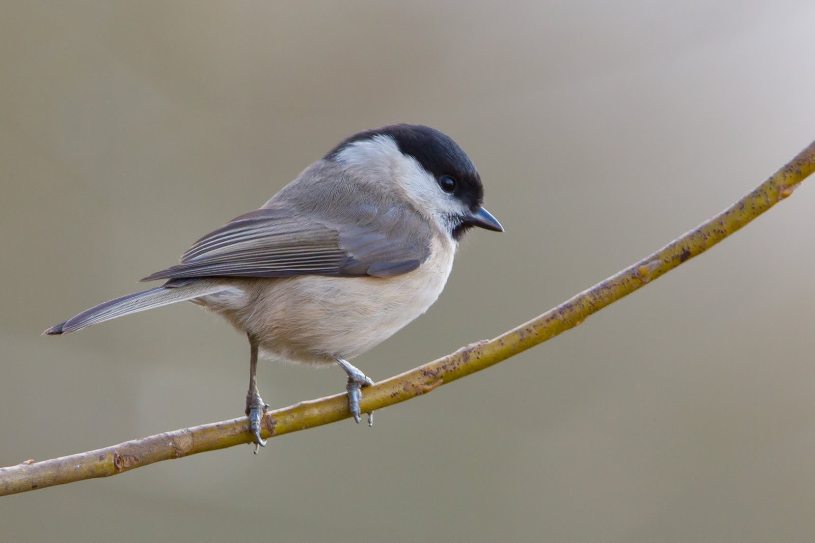 oxon birding blog jan farmoor marsh tit