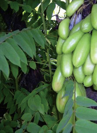belimbing wuluh atau disebut juga belimbing sayur belimbing asam atau ...