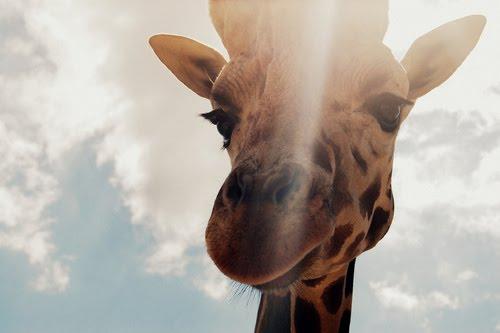 [giraffe]