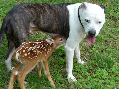 White Spotted Pitbull