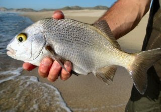 how to find sand crabs for surf fishing