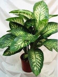 Planta que muitos temos em casa veneno espa o agadeshe for Planta decorativa toxica